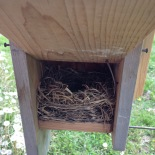 A wooden box with the side up showing a bluebird nest of dried grasses.