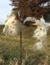 Up close photo of open milkweed pods with silky seeds ready to fly on the next gust of wind