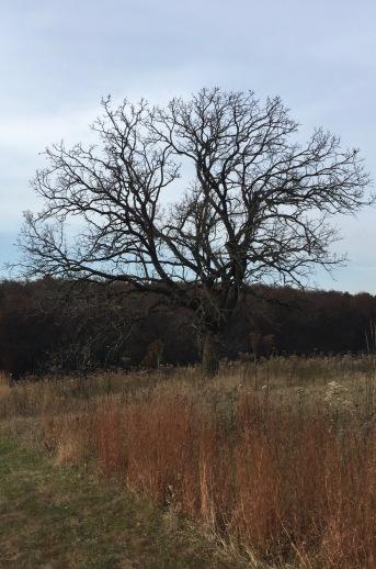 Lone Oak on the Prairie