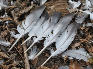 Five white and gray feathers lined up side-by-side on the forest floor, with other smaller feathers scattered around them.